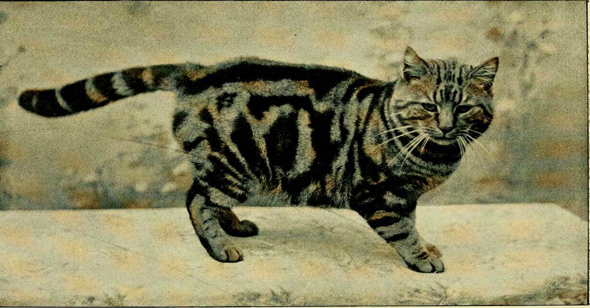 Military Cat