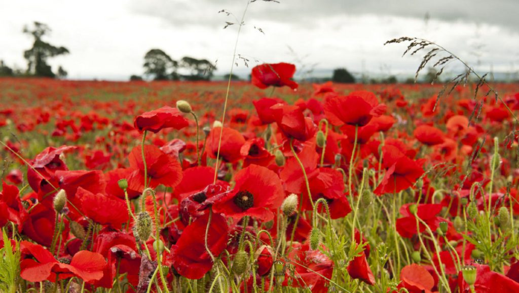 Flanders Poppies, A symbol of World War I